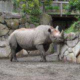 上野動物園のサイ